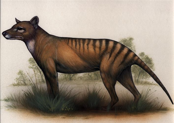 Tasmanian Tiger or Thylacine